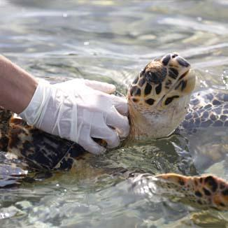 Turtle in the ocean with a veterinarians gloved hand