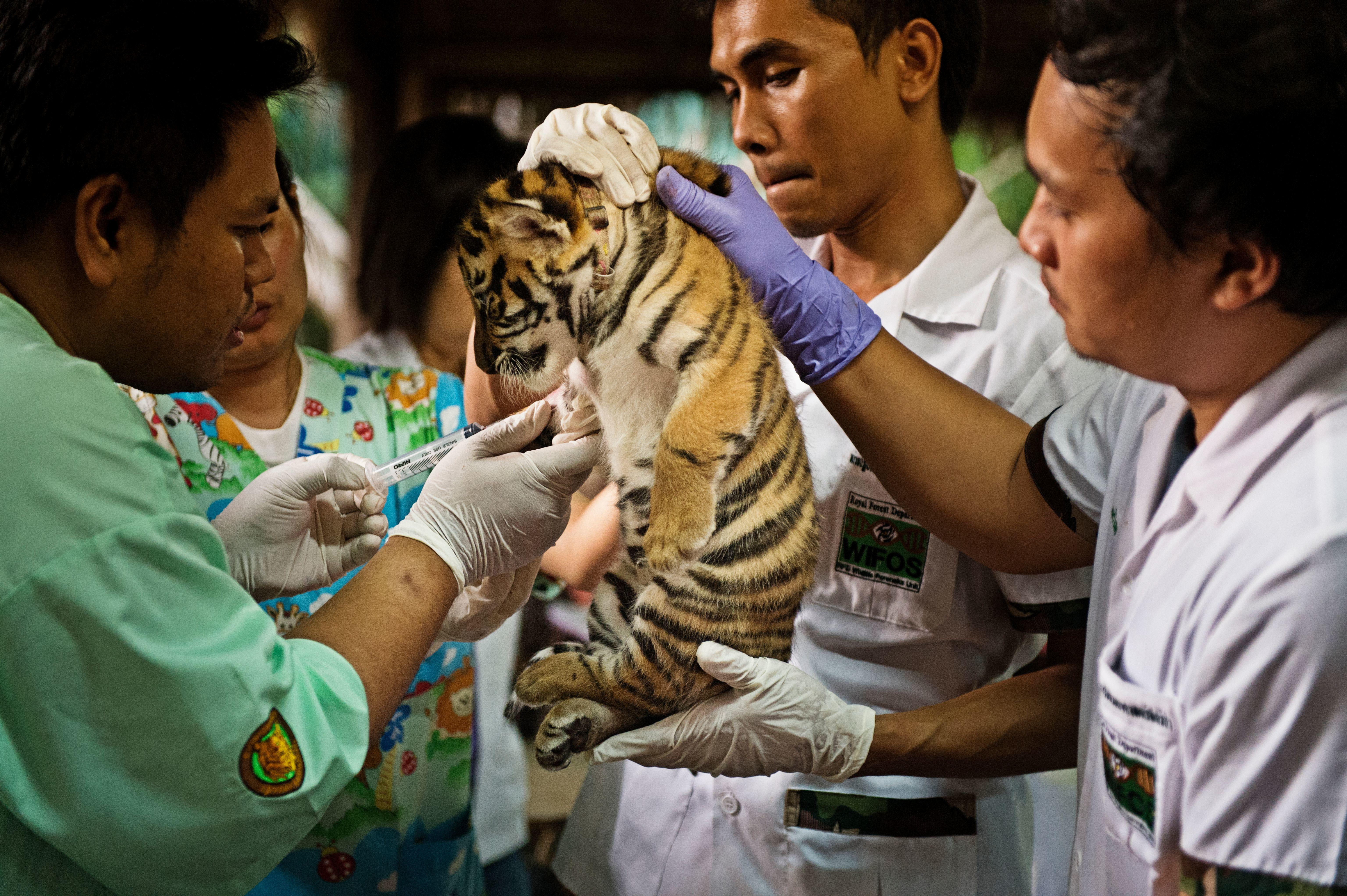 A team of veterinarians care for a tiger cub